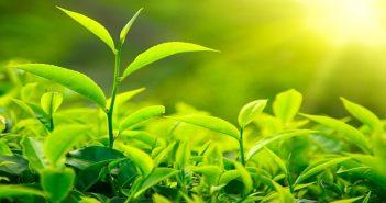 Công bố tiêu chuẩn chất lượng bột trà xanh