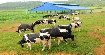 Tư vấn hợp đồng nhập khẩu bò giống